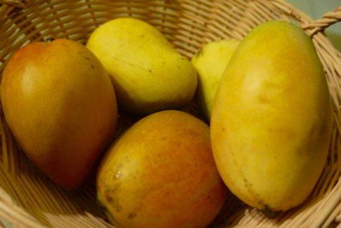 Mangoes on St. Croix